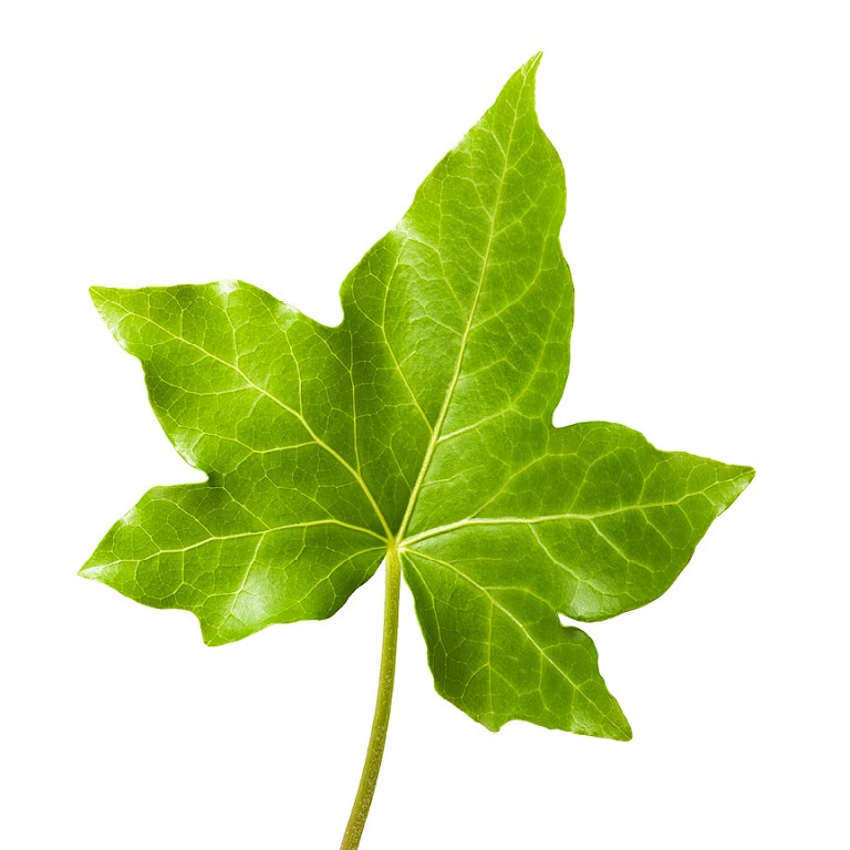 Ivy leaf powdered extract