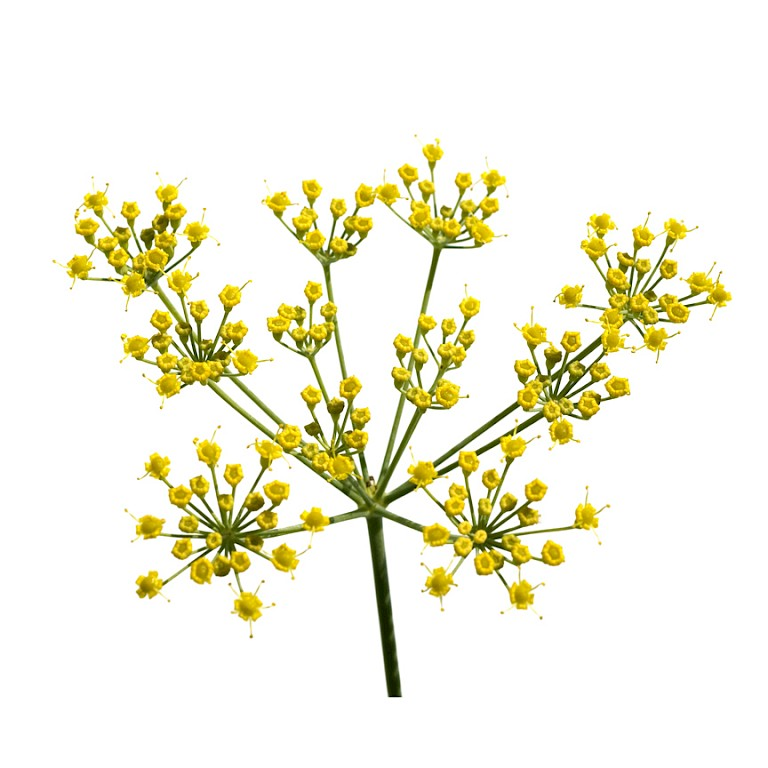 Sweet fennel seed powdered extract
