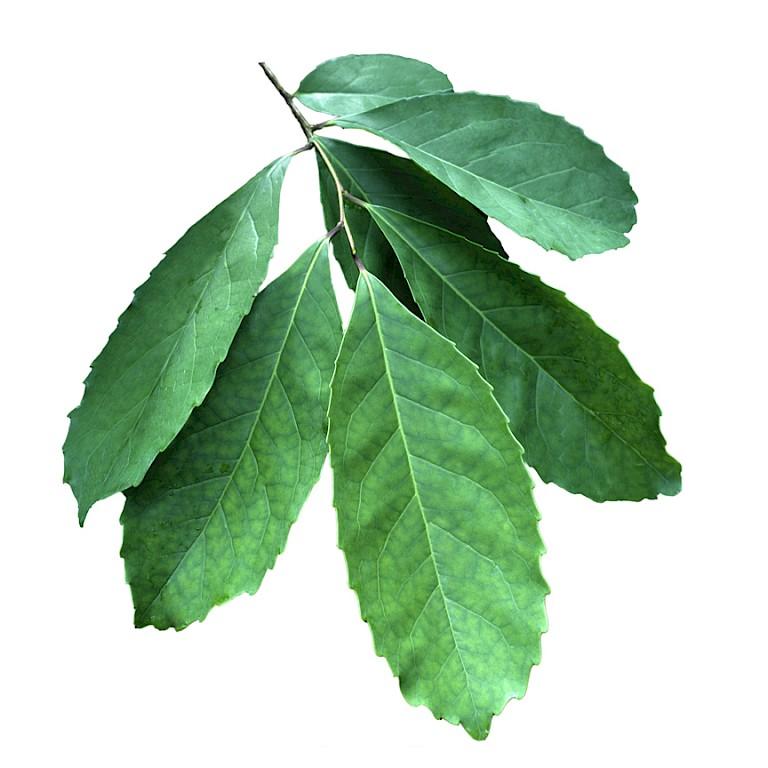 Maté leaf powdered extract